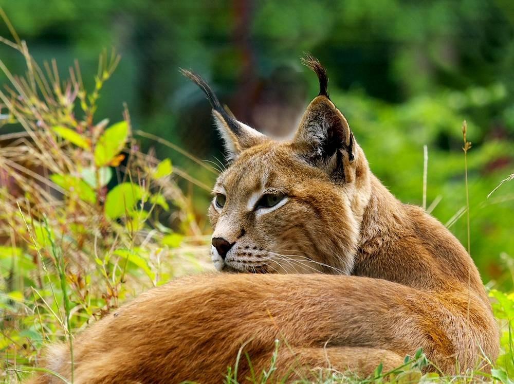 Eifel Lynx