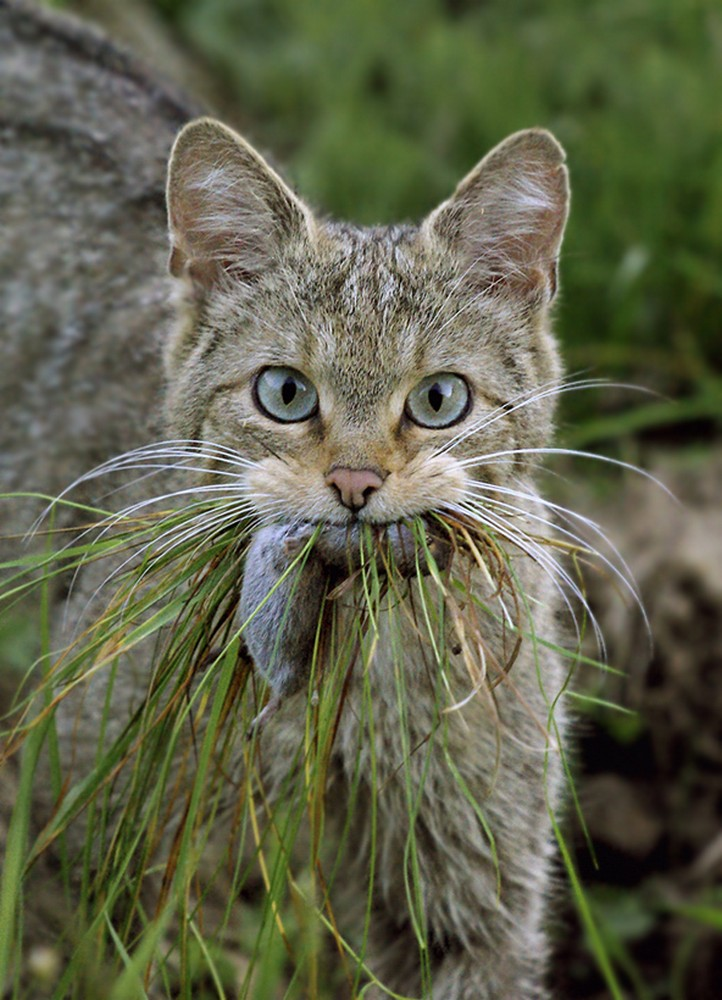 Eifel Natuur Wilde kat