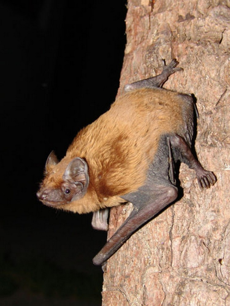 Fledermaus in de Eifel