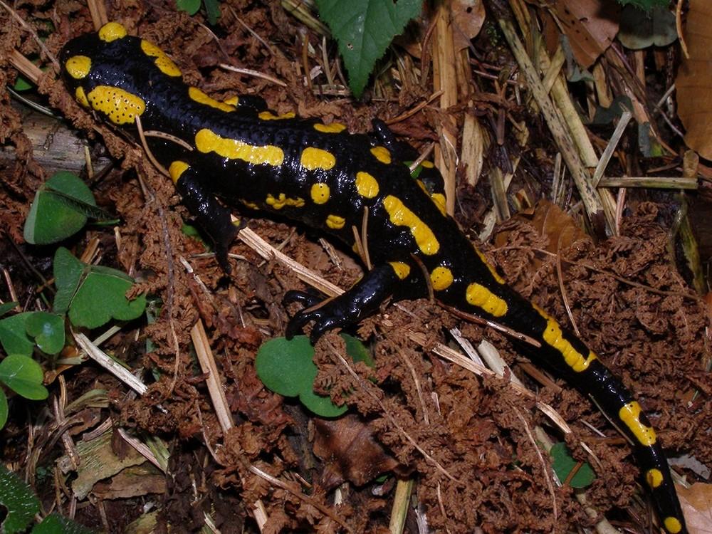 Salamander in de Eifel