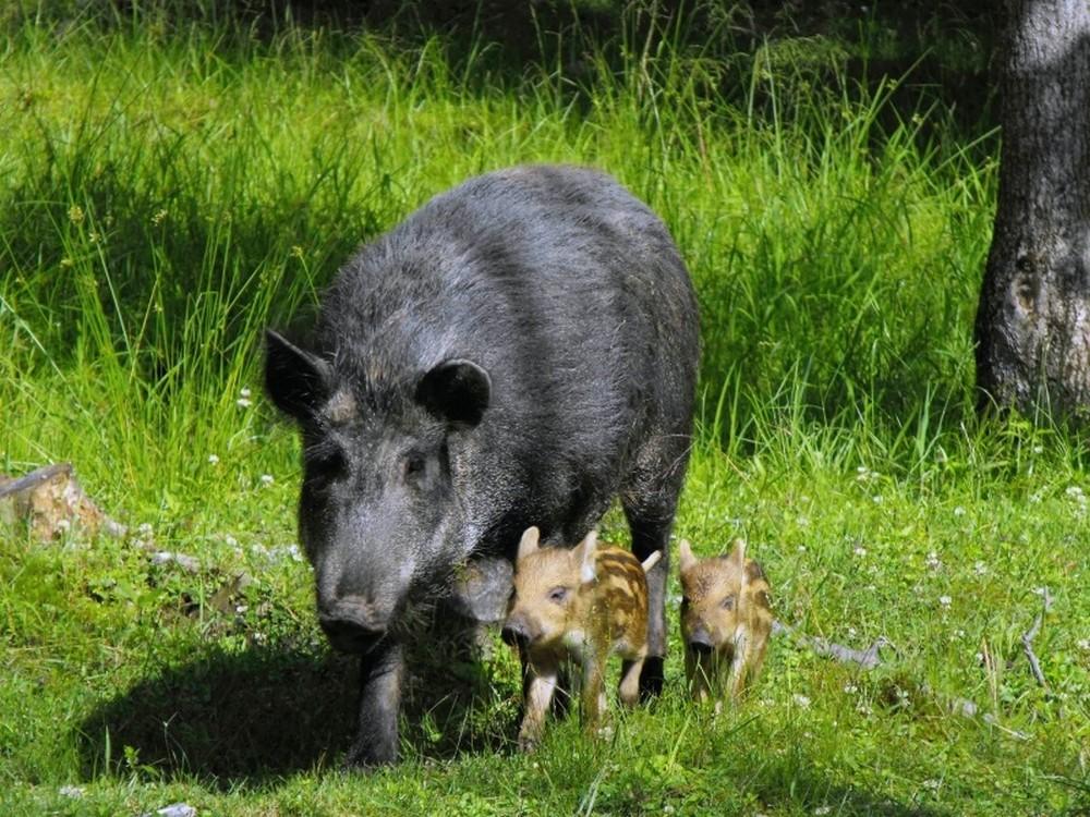Wildschwein Eifel